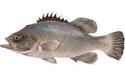 Wreckfish or stone bass -  image courtesy of wiki commons