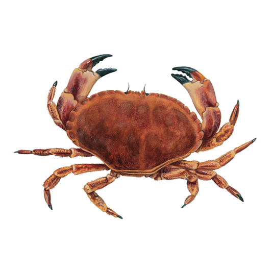 crab brown edible cornwall good seafood guide