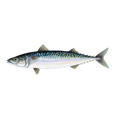 mackerel by Sarah McCartney